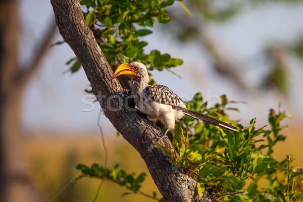 Southern Yellow-billed Hornbill in Botswana Stock photo © romitasromala
