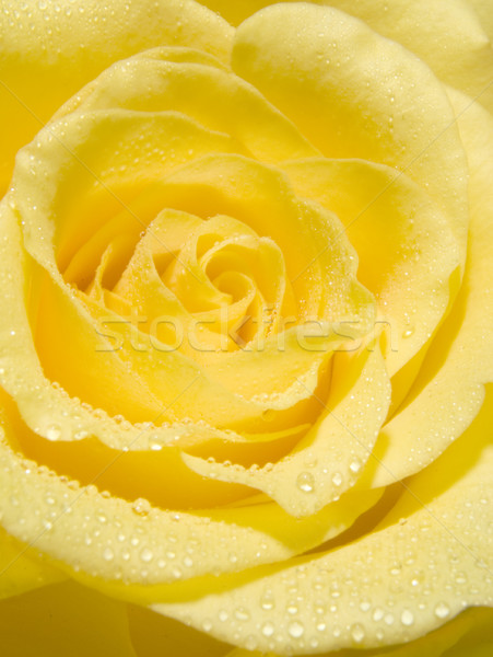 Yellow rose Stock photo © ronfromyork