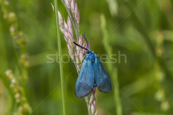 Green forester (Adscita statices) Stock photo © Rosemarie_Kappler