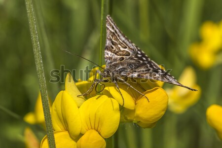 Mother shipton moth (Calistege mi) Stock photo © Rosemarie_Kappler