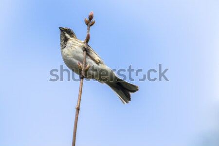 Reed bunting (Emberiza schoeniclus) Stock photo © Rosemarie_Kappler