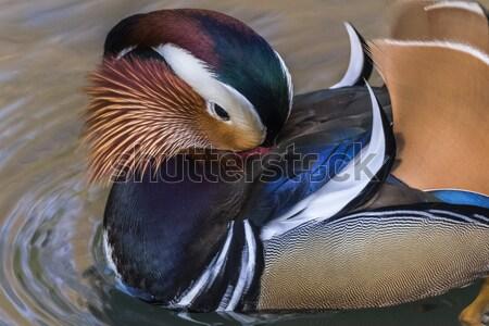 Mandarin duck (Aix galericulata) on the river Saar in Saarlouis/ Stock photo © Rosemarie_Kappler