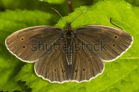 Meadow brown (Aphantopus hyperantus) Stock photo © Rosemarie_Kappler