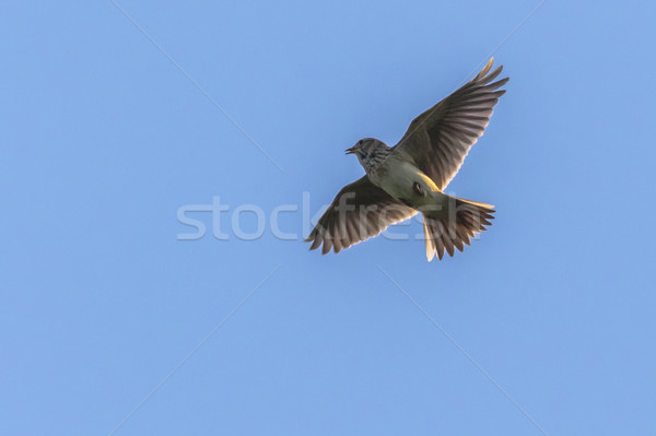 Common skylark (Alauda arvensis) Stock photo © Rosemarie_Kappler