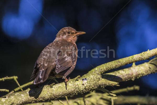 Fekete rigó ül ág természet tájkép madár Stock fotó © Rosemarie_Kappler