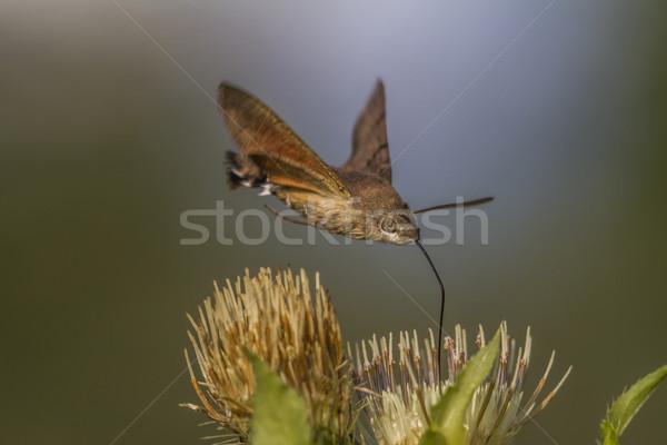 Hummingbird hawkmoth (Macroglossum stellatarum) Stock photo © Rosemarie_Kappler