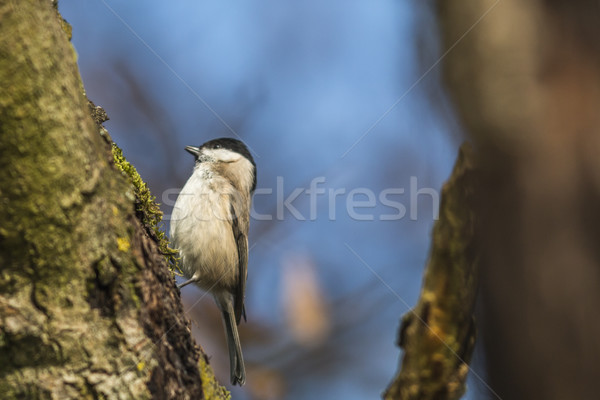 Stock photo: Marsh tit (Parus palustris)