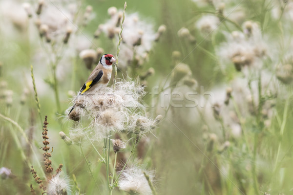 Goldfinch (Carduelis carduelis) Stock photo © Rosemarie_Kappler