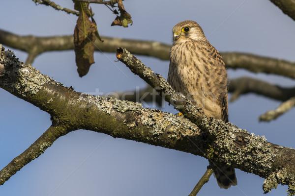 Common krestel (Falco tinnunculus) Stock photo © Rosemarie_Kappler