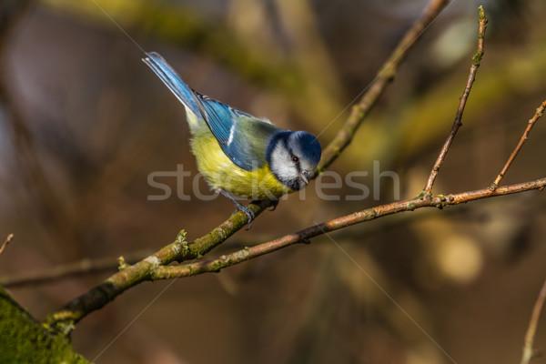 Blue tit (Parus caeruleus) Stock photo © Rosemarie_Kappler