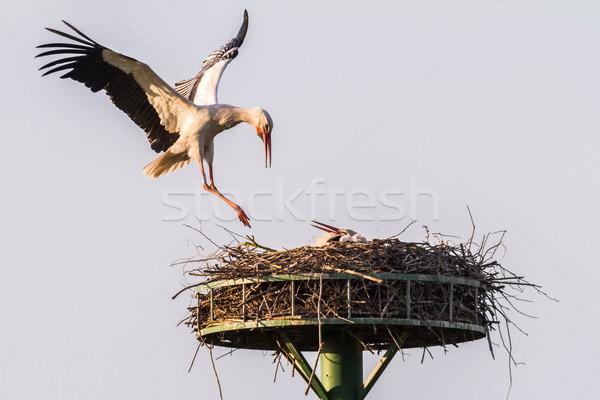 Fehér gólya tájkép madarak fészek szabadtér Stock fotó © Rosemarie_Kappler
