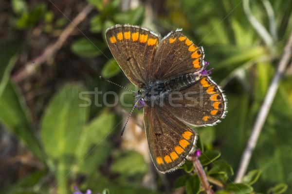 коричневый сидят Blossom дерево трава бабочка Сток-фото © Rosemarie_Kappler