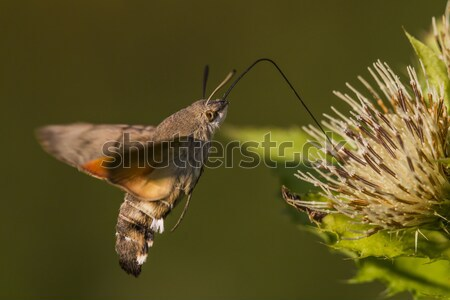 Hummingbird hawkmoth (Macroglossum stellatarum) Stock photo © Rosemarie_Kappler