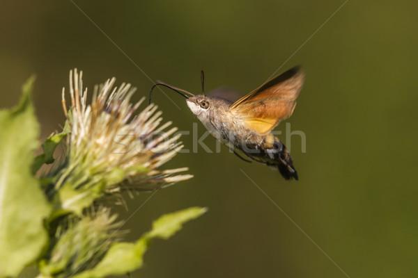 Hummingbird бабочка природы крыши луговой Буш Сток-фото © Rosemarie_Kappler