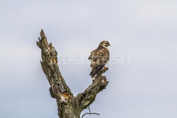 Buizerd Duitsland vlucht landschap vogels vliegen Stockfoto © Rosemarie_Kappler