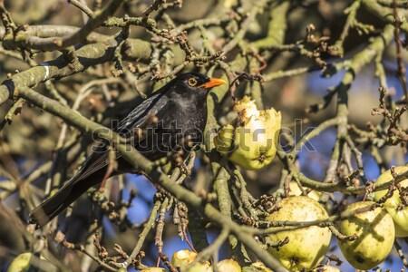 дрозд черный сидят филиала природы пейзаж птица Сток-фото © Rosemarie_Kappler