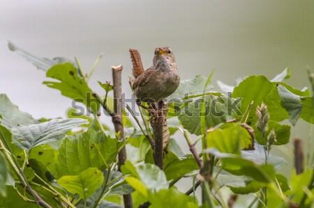 Wren (troglodytes troglodytes) Stock photo © Rosemarie_Kappler