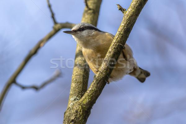 дерево лес птица птиц филиала сидят Сток-фото © Rosemarie_Kappler