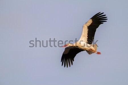 White stork (Ciconia ciconia) Stock photo © Rosemarie_Kappler