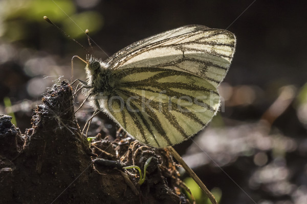 Green-veined white (Pieris napae) Stock photo © Rosemarie_Kappler