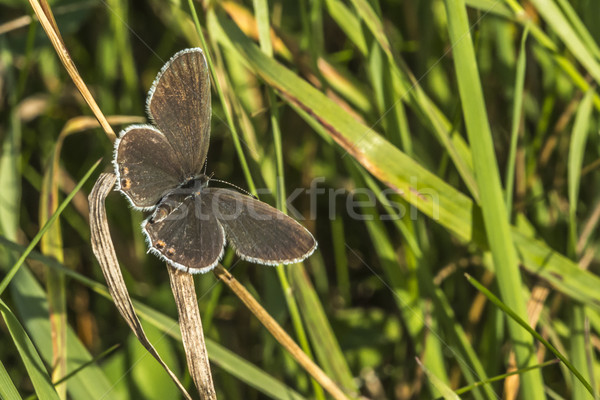 синий сидят дерево трава бабочка крыльями Сток-фото © Rosemarie_Kappler