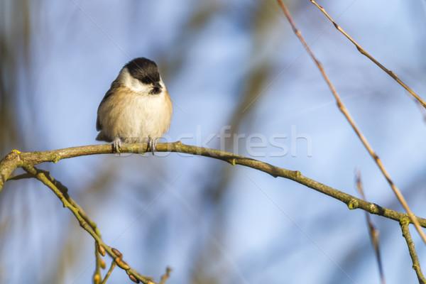 Marsh tit (Parus palustris) Stock photo © Rosemarie_Kappler