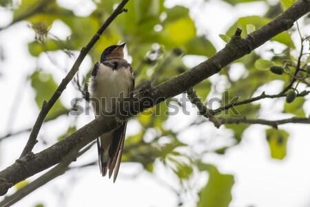 сарай сидят филиала природы птица Перу Сток-фото © Rosemarie_Kappler