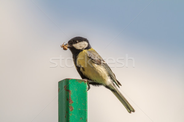 Great tit (Parus major) Stock photo © Rosemarie_Kappler
