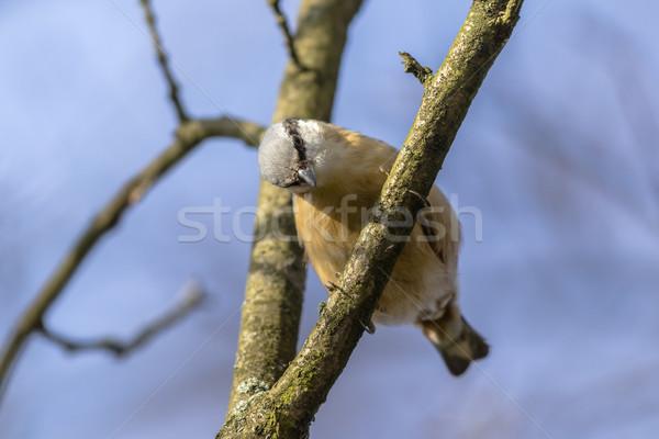 Nuthatch (Sitta europaea) Stock photo © Rosemarie_Kappler