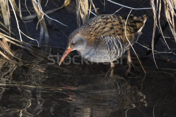 Water rail (Rallus aquaticus) on the riverside Stock photo © Rosemarie_Kappler