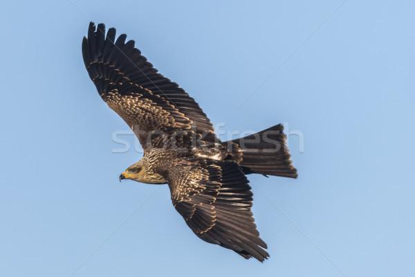 Black kite (Milvus migrans) Stock photo © Rosemarie_Kappler
