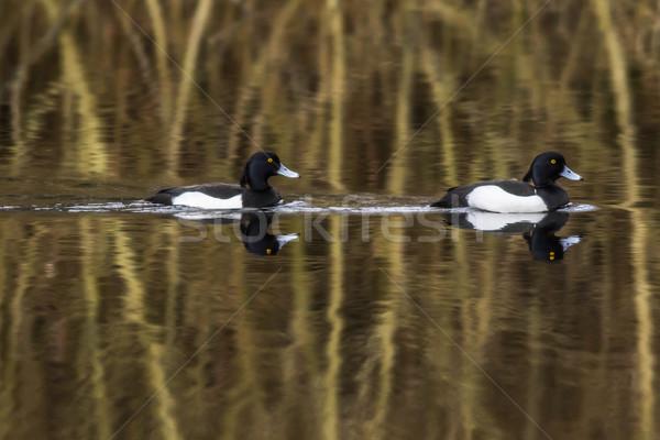 утки воды природы животные волна плавать Сток-фото © Rosemarie_Kappler