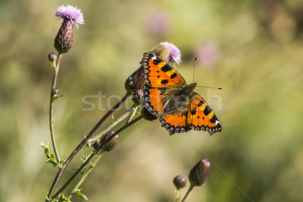 Small tortoiseshell (Aglais urticae) Stock photo © Rosemarie_Kappler