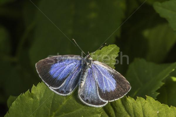 Silver-studded blue (Plebeius argus) Stock photo © Rosemarie_Kappler