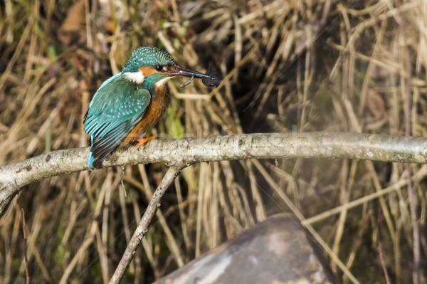 Ijsvogel weinig vis vergadering tak natuur Stockfoto © Rosemarie_Kappler