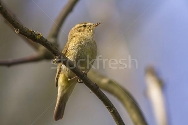 ül ág fa erdő természet madár Stock fotó © Rosemarie_Kappler
