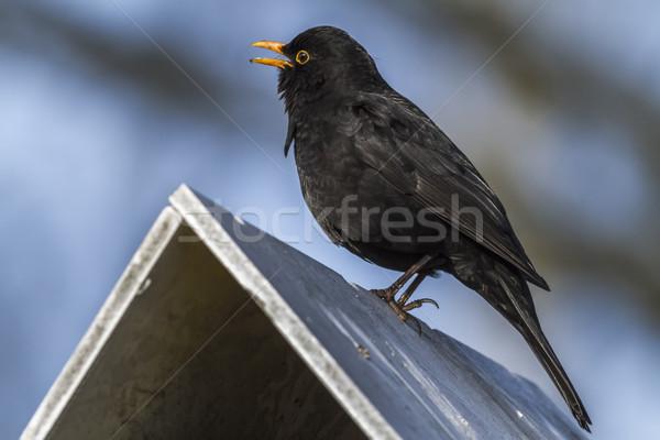 Fekete rigó ül felső madár asztal természet Stock fotó © Rosemarie_Kappler