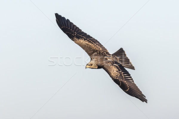 Zwarte Kite vlucht zoeken natuur vogel Stockfoto © Rosemarie_Kappler