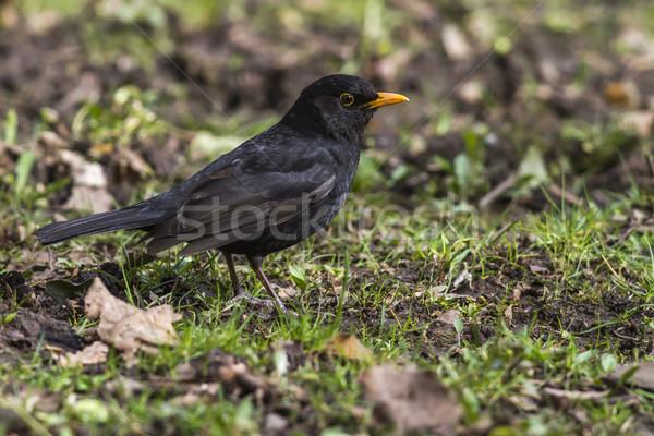 Blackbird (Turdus merula) Stock photo © Rosemarie_Kappler