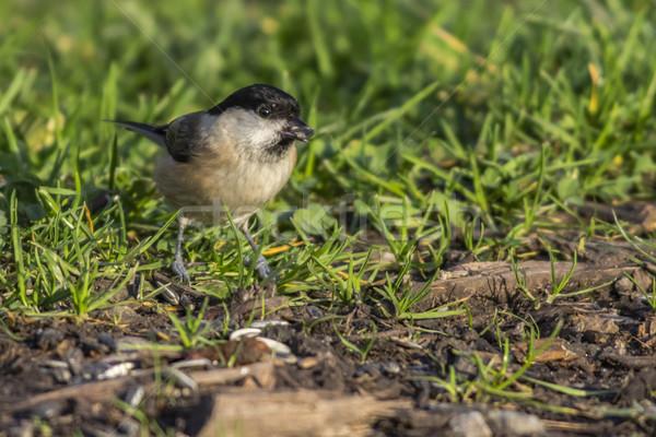 Tit nature paysage oiseau plumes Photo stock © Rosemarie_Kappler