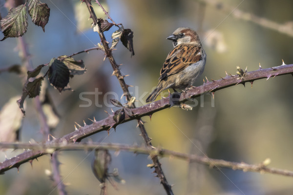 Casa pardal sessão ramo natureza pássaro Foto stock © Rosemarie_Kappler