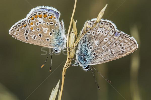 Paar Blauw boom gras vlinder vleugels Stockfoto © Rosemarie_Kappler
