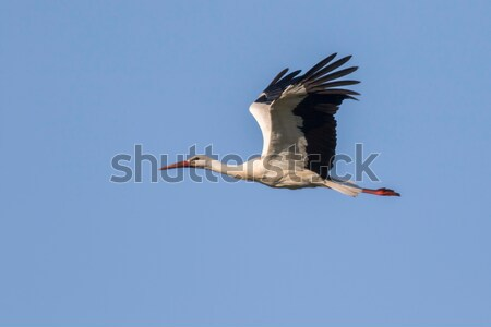 White stork (Ciconia ciconia) Stock photo © Rosemarie_Kappler