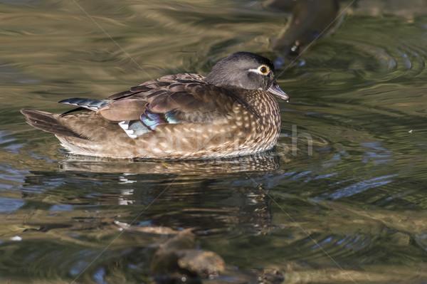 Gland canard rivière eau herbe nature Photo stock © Rosemarie_Kappler