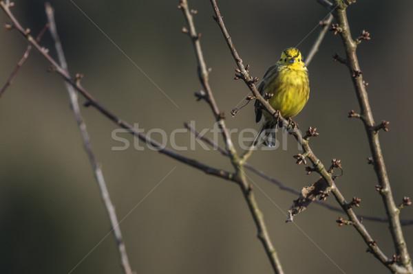 Yellowhammer (Emberiza citrinella) Stock photo © Rosemarie_Kappler