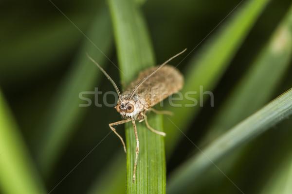 Rush veneer (Nomophila noctuella) Stock photo © Rosemarie_Kappler