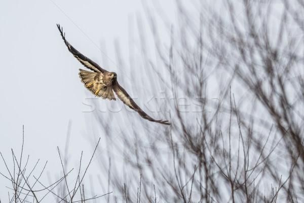 Urubu Alemanha vôo paisagem aves voar Foto stock © Rosemarie_Kappler