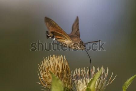 Kolibri pillangó természet tető legelő bokor Stock fotó © Rosemarie_Kappler