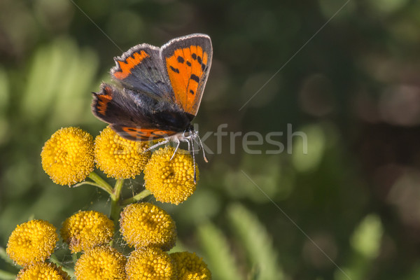 Common copper (Lycaena phlaeas) Stock photo © Rosemarie_Kappler