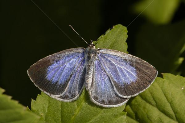 синий сидят лист дерево трава бабочка Сток-фото © Rosemarie_Kappler